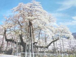 根尾村の桜